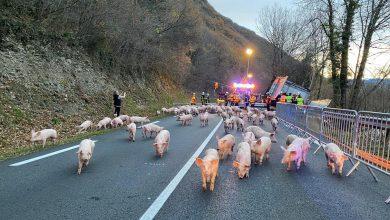 Un camion încărcat cu peste 800 de purcei s-a răsturnat la Luscan în Franța